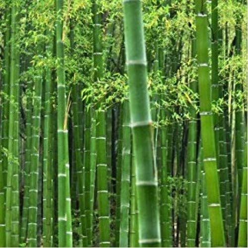 50 Rare Moso Bamboo Seeds – Exotic Garden Shade Plants, Fast Growing Trees for Privacy, Hedge Seeds for Planting, Seeds for Planting Bamboo Plants Outdoor.